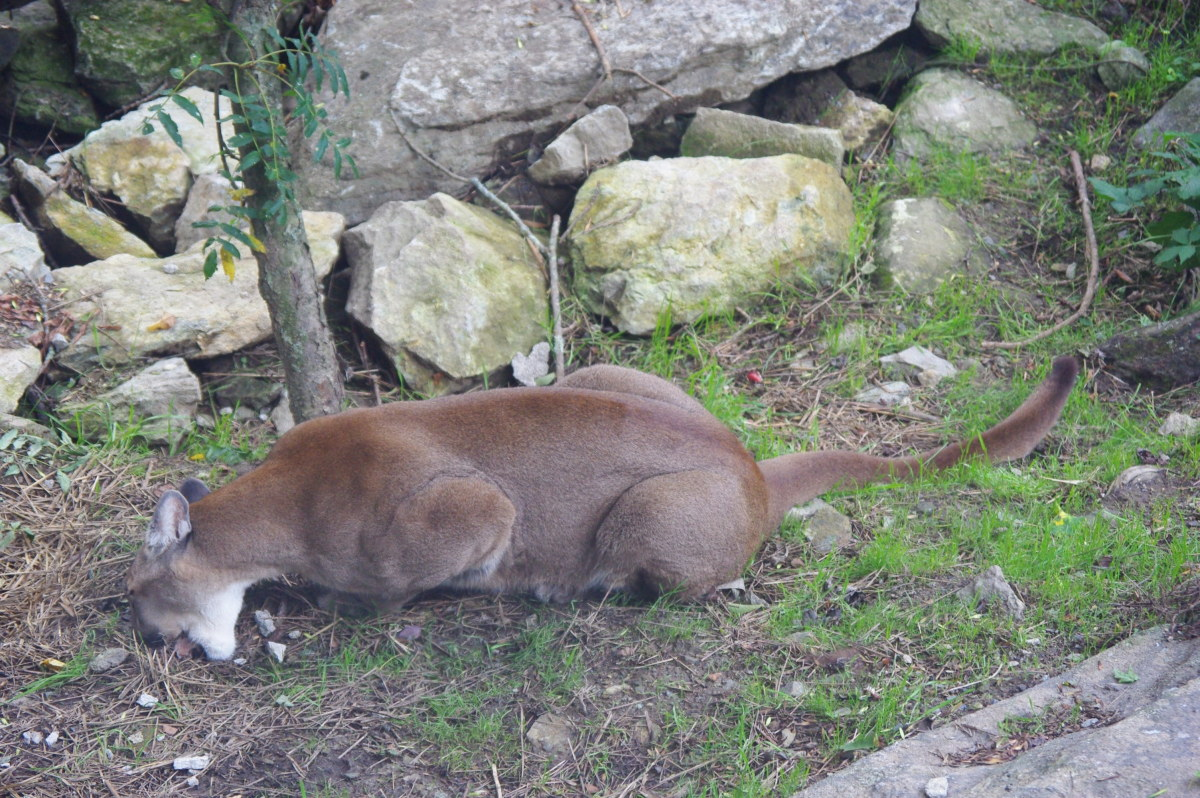 This cougar was having his nourishment at Grandfather Mountain Refuge near Boone, NC.