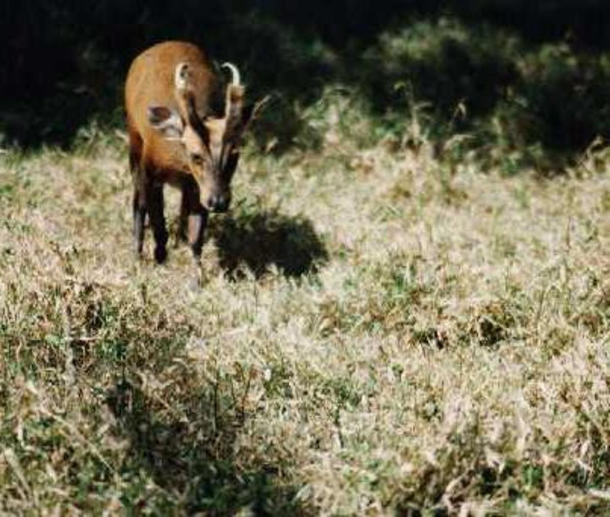 I took this picture, the most stolen on the net, of a barking deer at Margalla Hills National Park (1988).