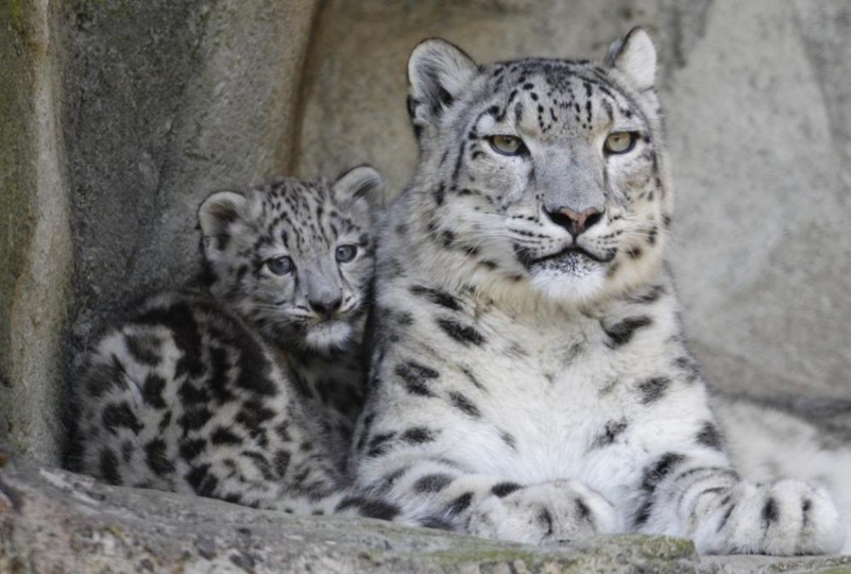 K2 and I are not likely to run into a snow leopard in Pakistan.