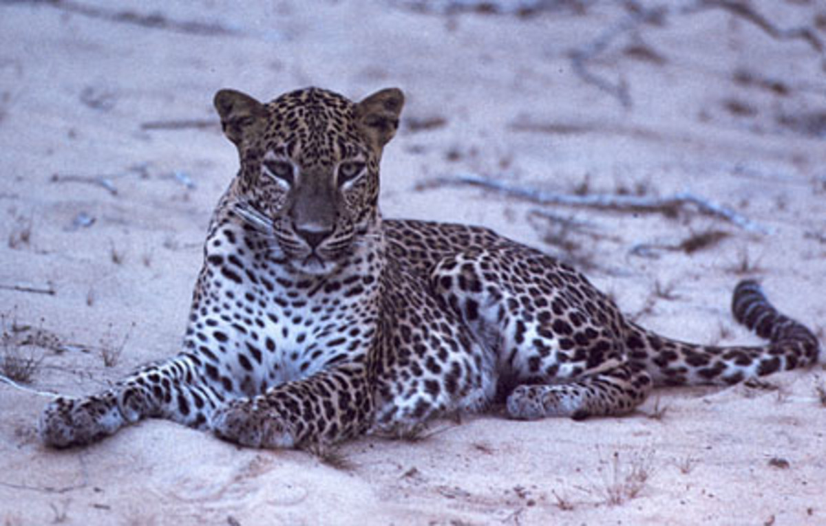 Leopards can be found in Margalla Hills or Galliyat region (sub-Himalayas).