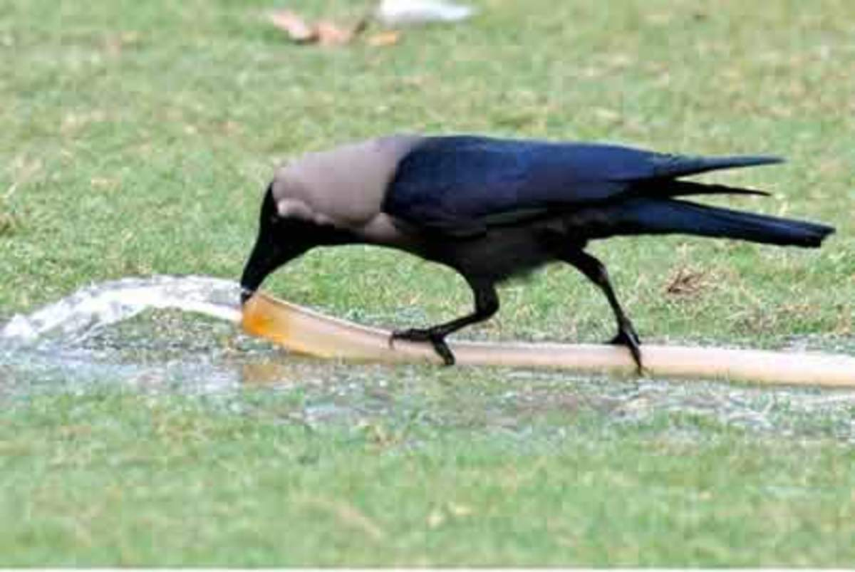 Common crow is an intelligent bird. There are reasons for me to put it against a skunk.