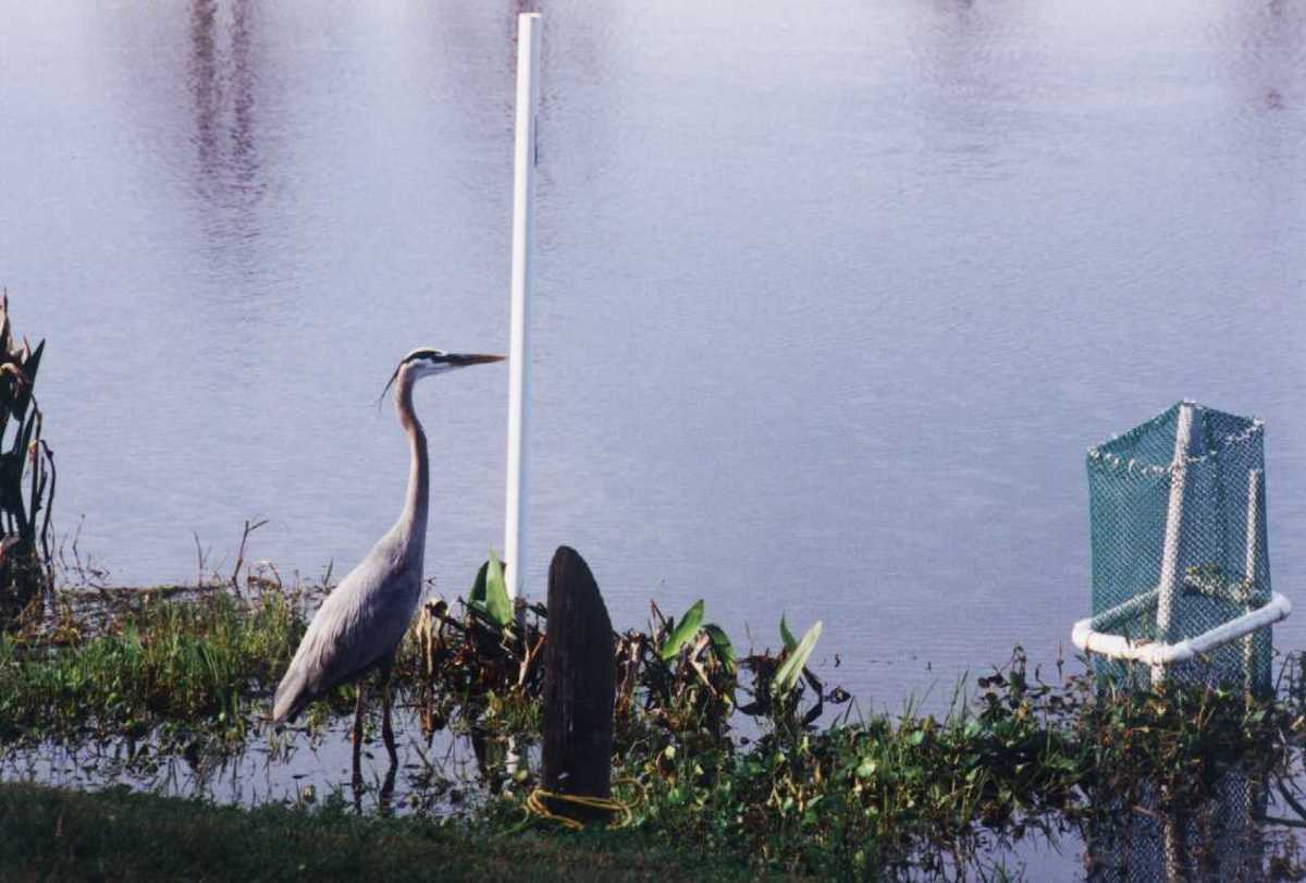 I took this picture of great blue heron at Lake Oneonta near Pittsfield, Berkshires.
