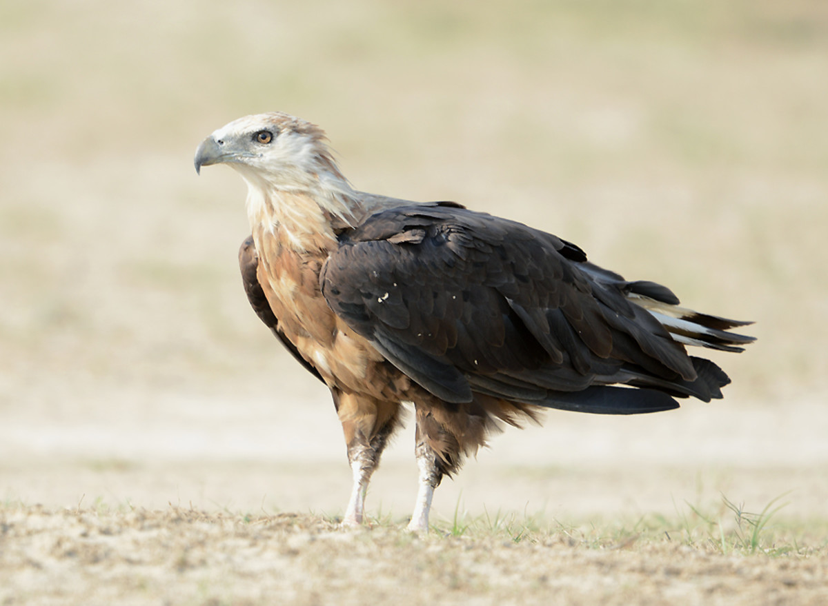 K2 and we would enjoy Palla's fish eagle catching a fish in a Pakistani lake as much as we would a bald eagle.