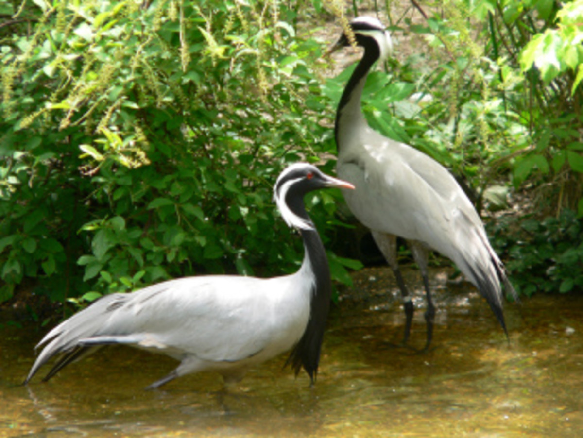 Unfortunately, I saw many of them in Pakistan, I was unable to take pictures of Demoiselle cranes.