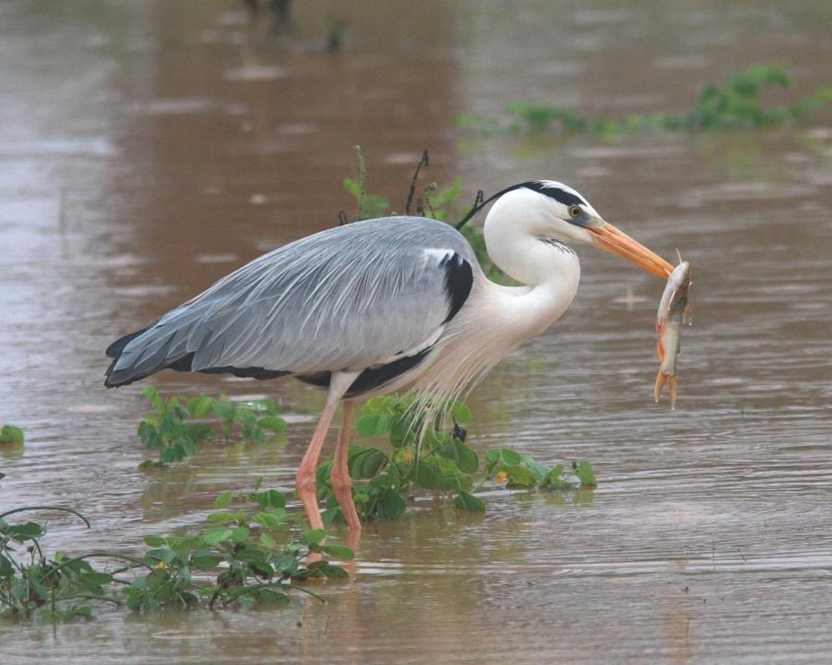A grey egret or grey heron is as elegant as a blue heron.