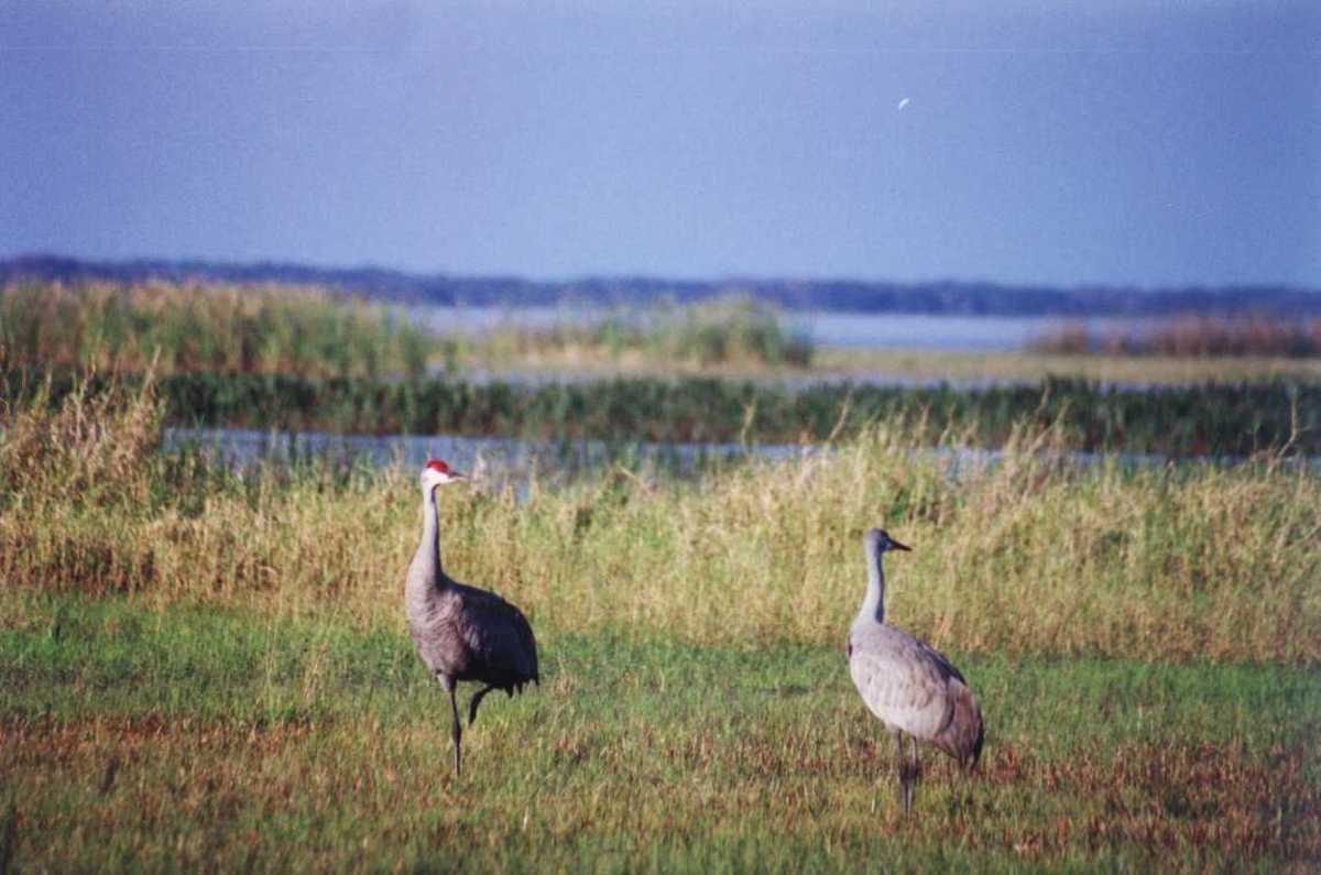 I took this picture of sandhill cranes at Lake Tohopekaliga near Orlando..