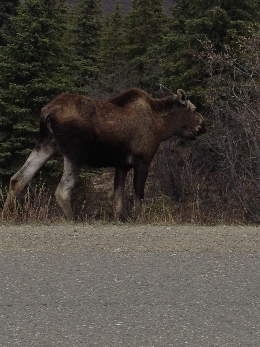 My bucket list has been punched.  Before going to Alaska I had said my trip would not be complete without seeing a real live Moose in the wild.  This one was running down the road and decided to stop for a bite to eat.