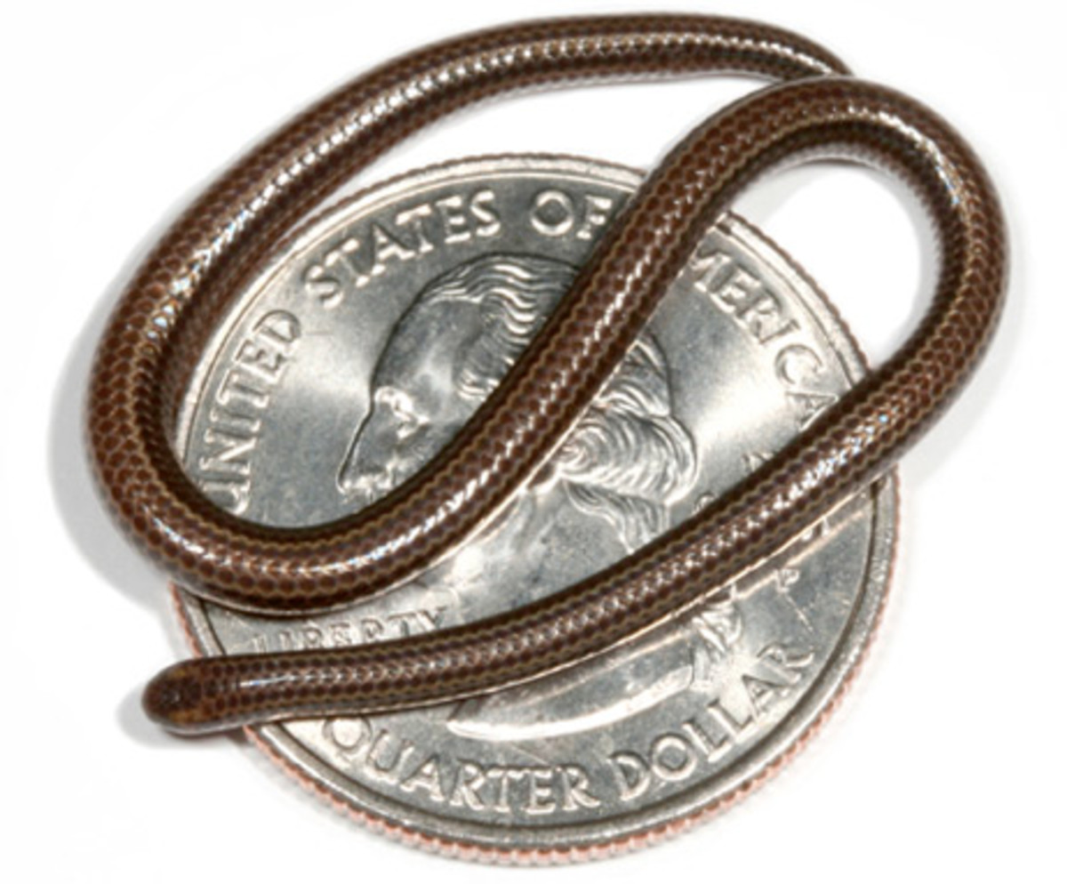 The world's smallest snake is as thick as a spaghetti noodle and only grows 4 inches long.