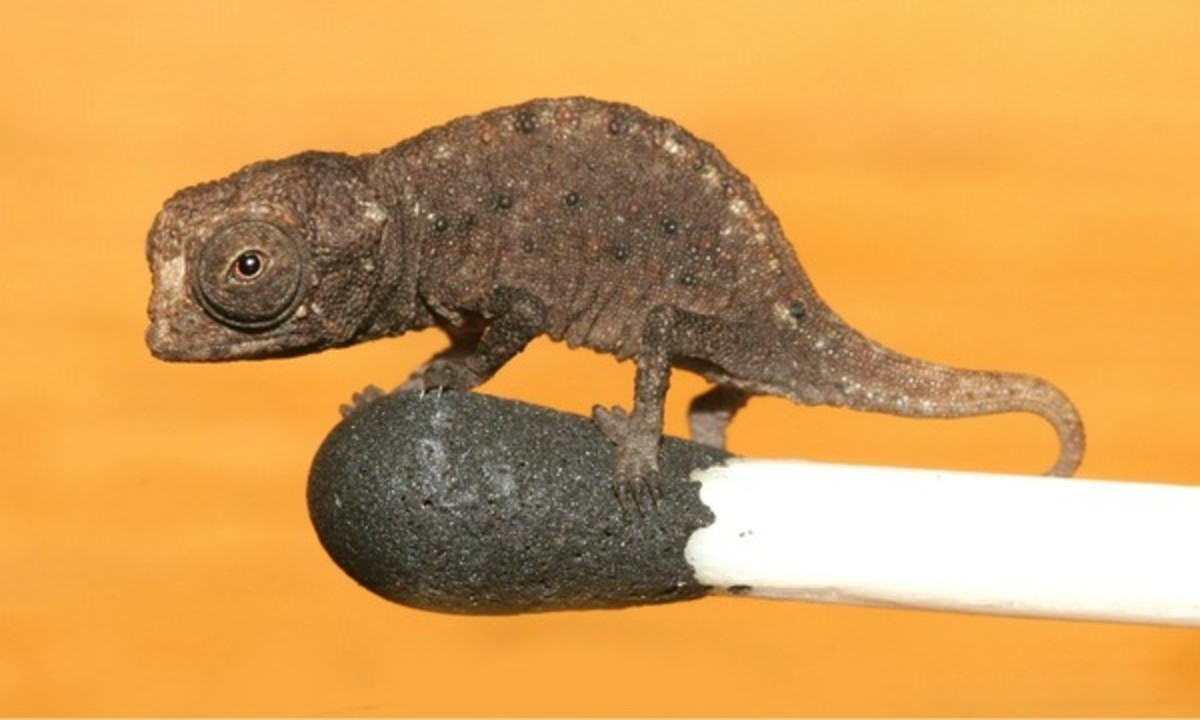 This dwarf chameleon from Madagascar is one of the world's smallest lizard. This juvenile can sit comfortably on a match head.