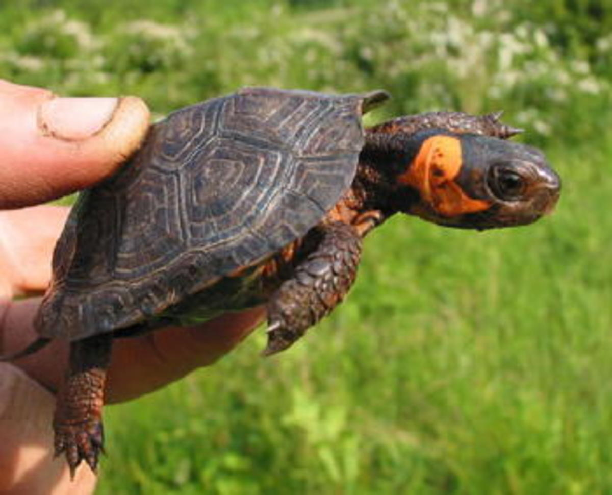 The Bog Turtle of North America is the smallest true turtle - growing only a little more than 4 inches in length.