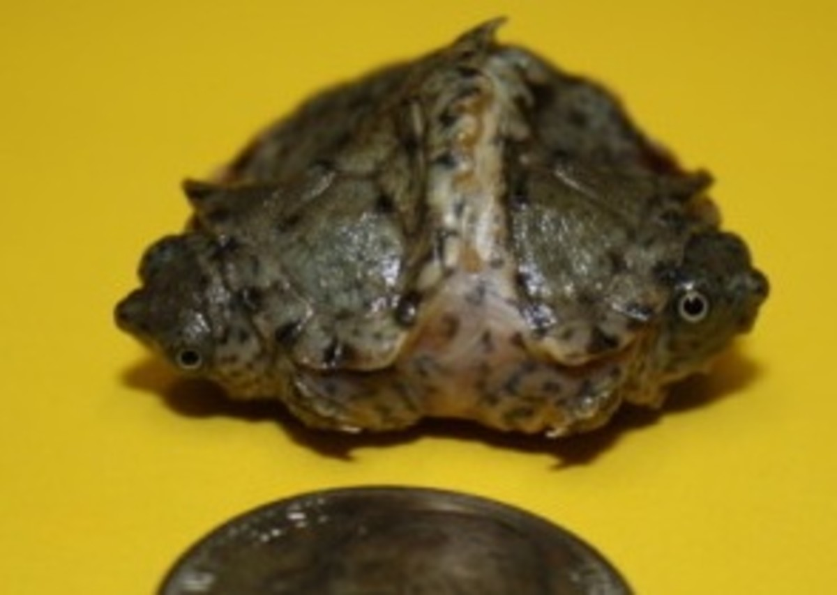 Teeny and Tiny are the world's smallest two-headed turtle.