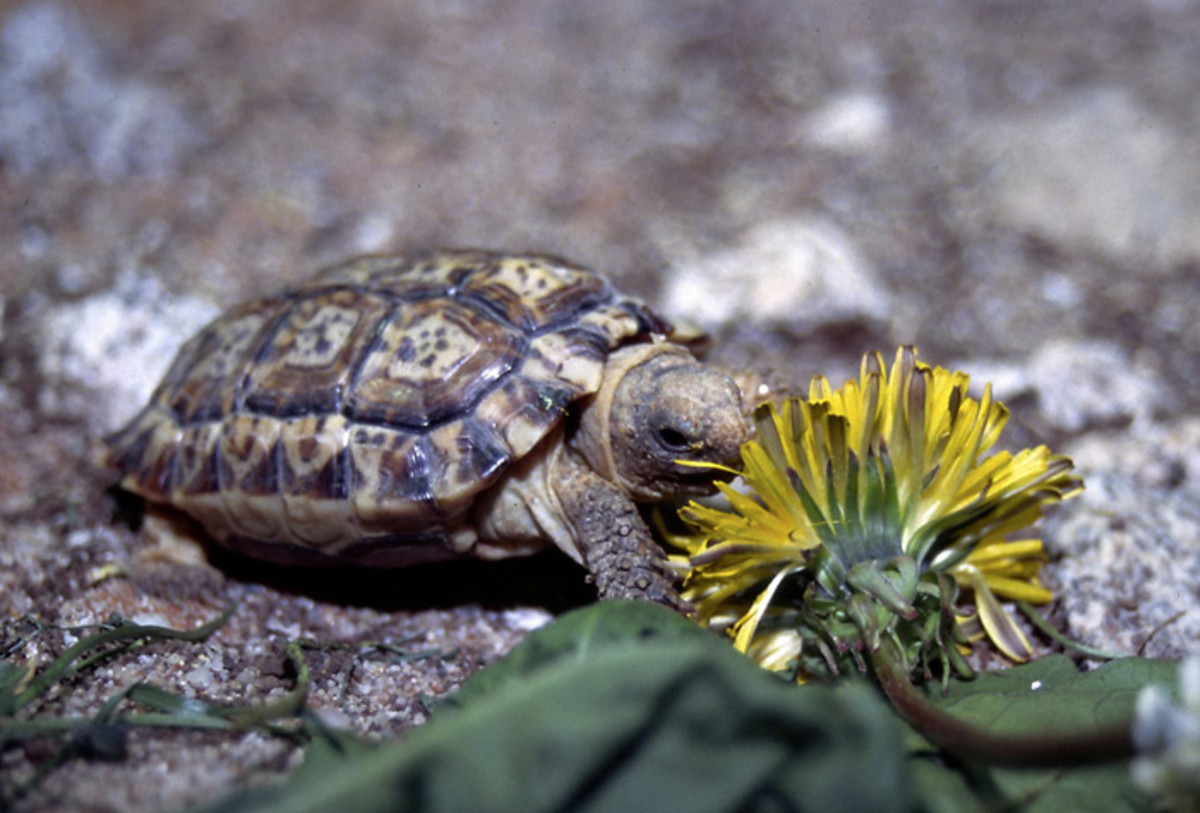 The speckled padloper tortoise is the smallest tortoise in the world with males reaching 3 inches and females reaching four inches at full maturity.