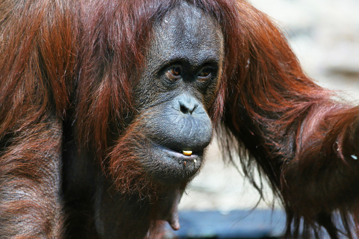 The female orangutan represents Pi's mother.