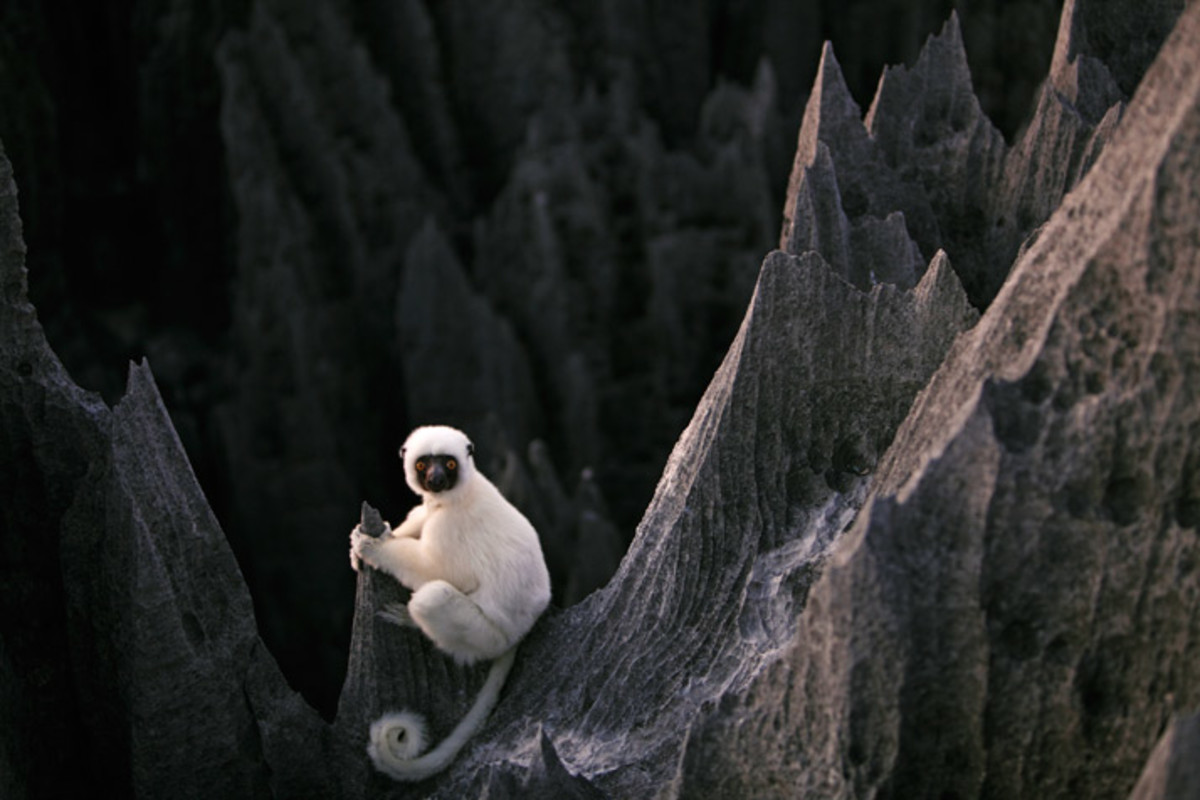 This is the most popular lemur to the area, a Decken Sifaka.