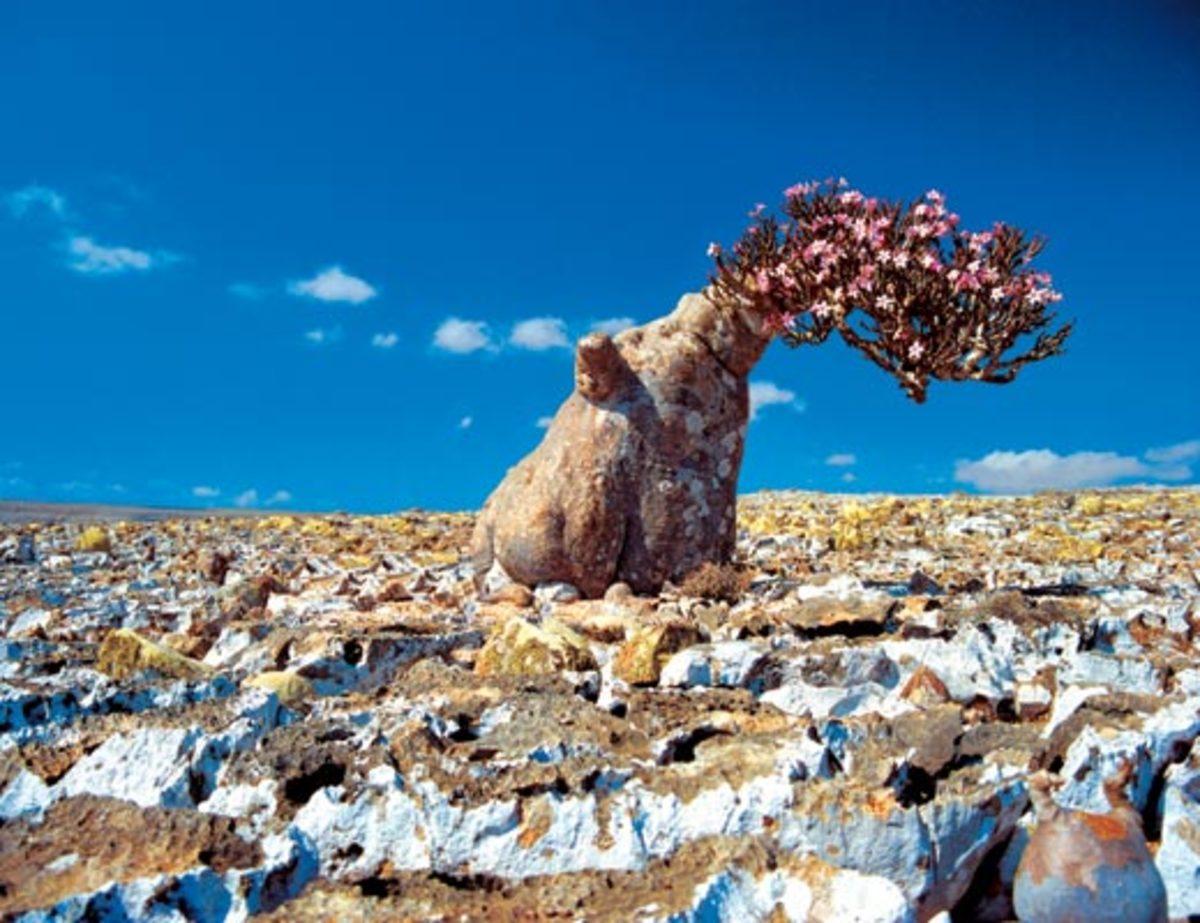 Weird Socrota Tree