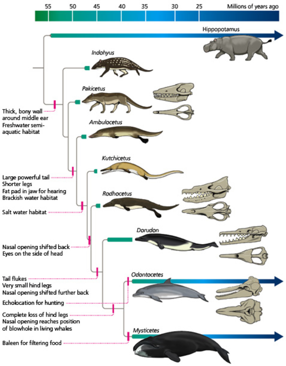 The evolution of whales in a nutshell.