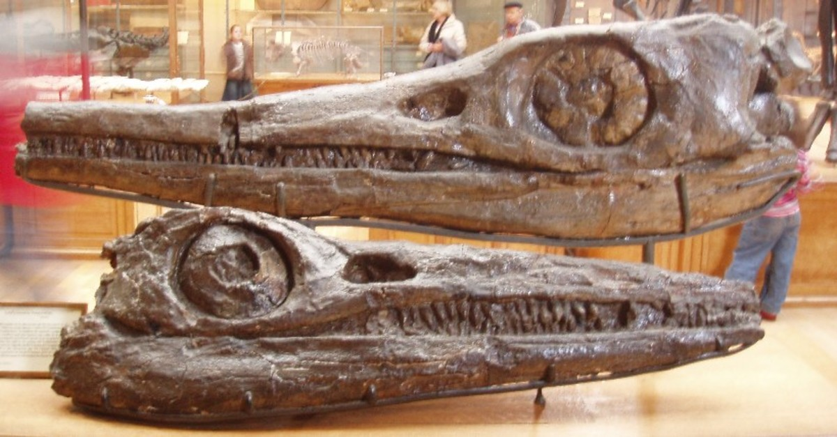 Temnodontosaurus skulls at the Oxford Museum of Natural History.