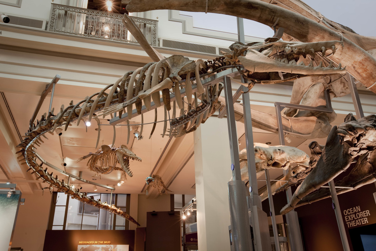 A Basilosaurus snakes its way around the National Museum of Natural History in Washington, D.C.