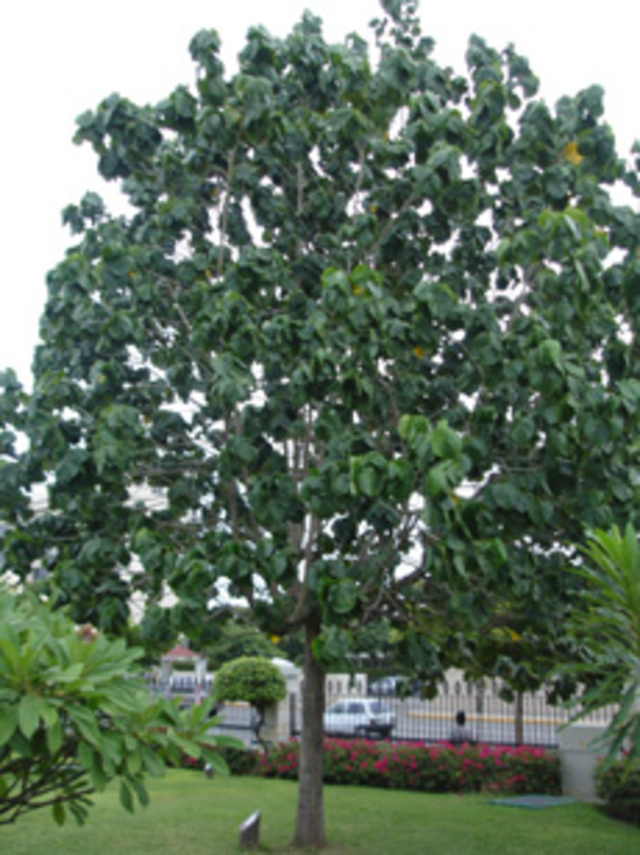 National Tree - Blue Mahoe