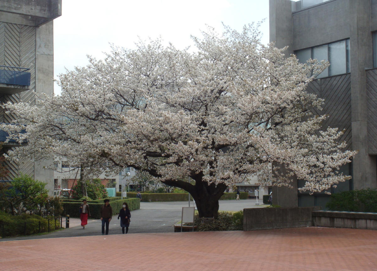 Impressive cherry tree within MAU campus main square