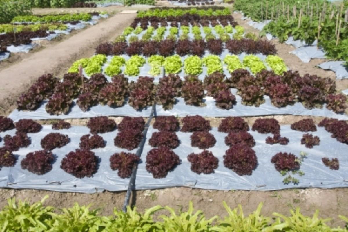 Vegetable garden On A Hobby Farm