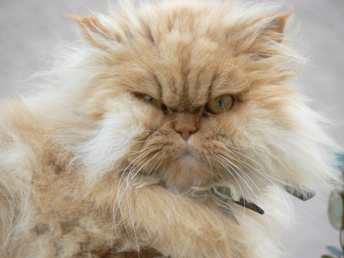 peke-face Persian cat