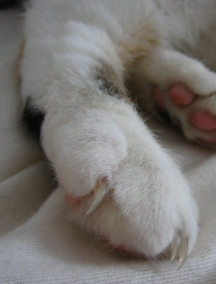 Hemingway Cats have extra toes.