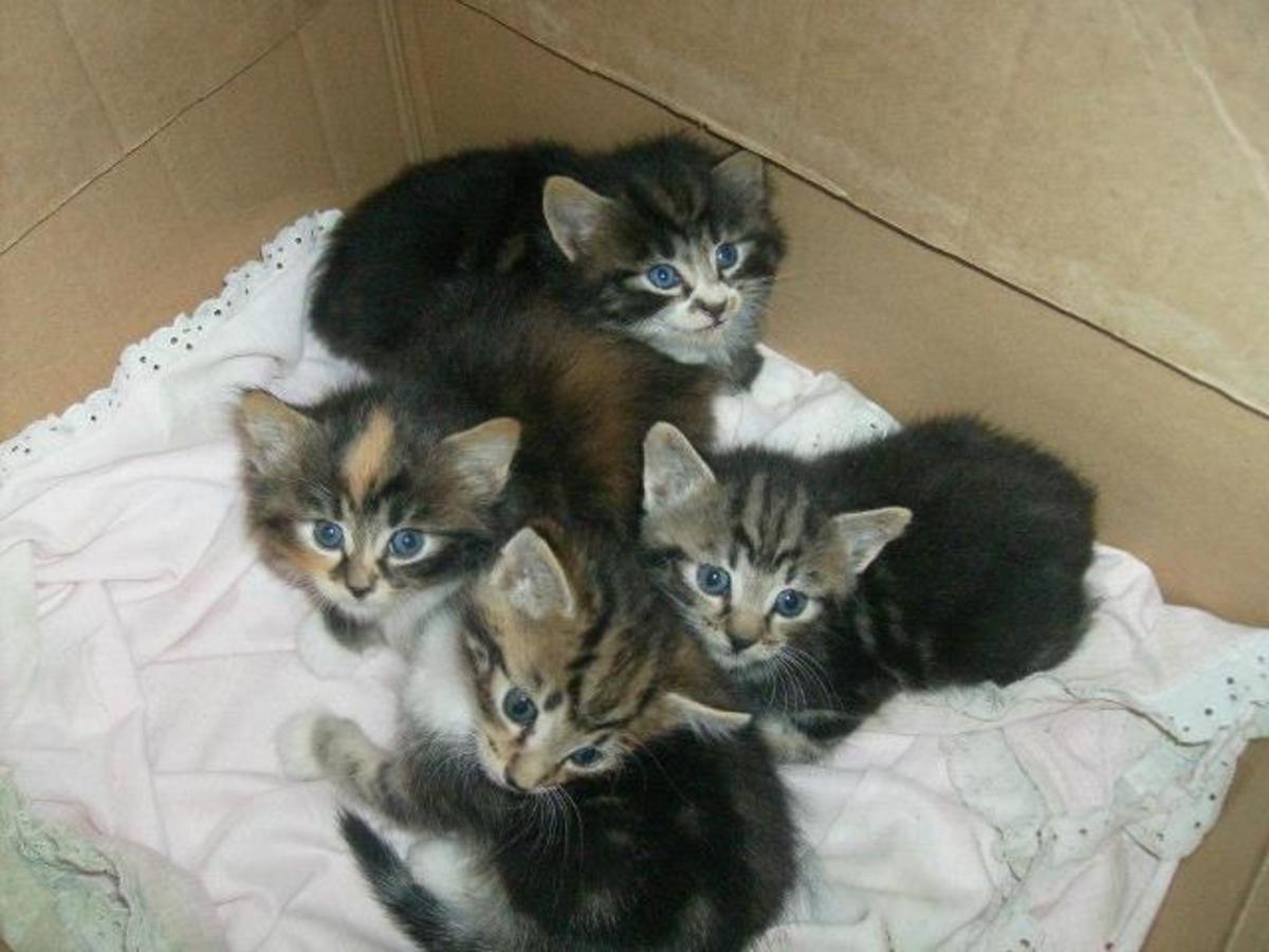 American Bobtail Kittens (2 have tails, and 2 don't)