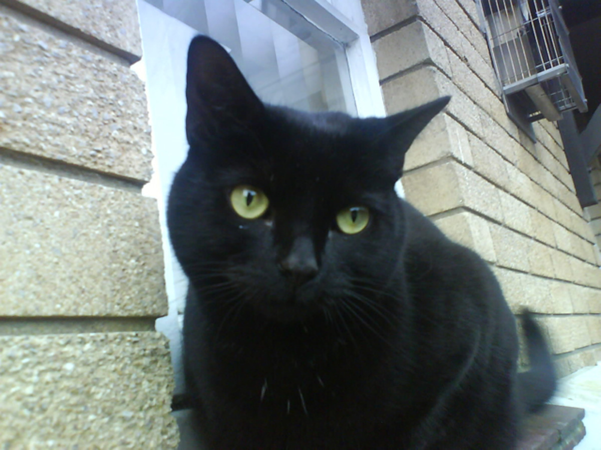 American Bombay Cat