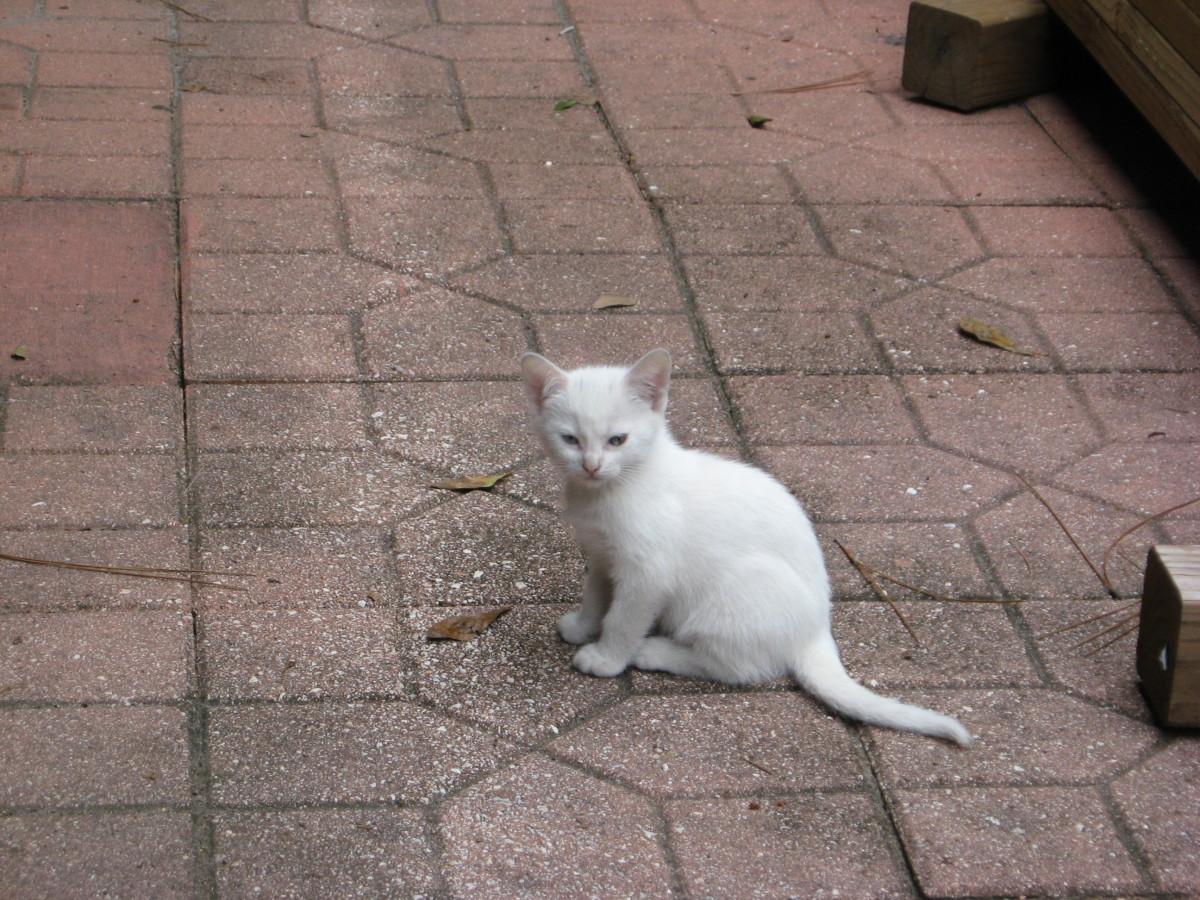 white feral kitten
