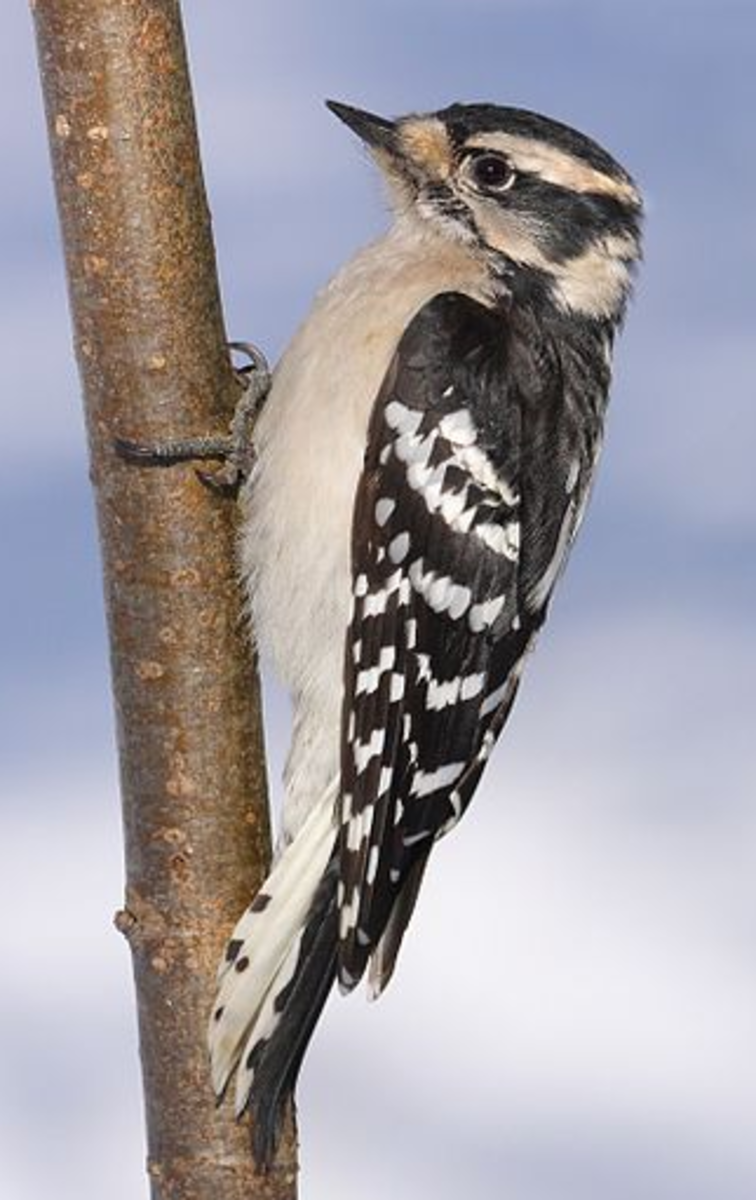 The Downy Woodpecker is a small woodpecker with white spots or bars on its back.