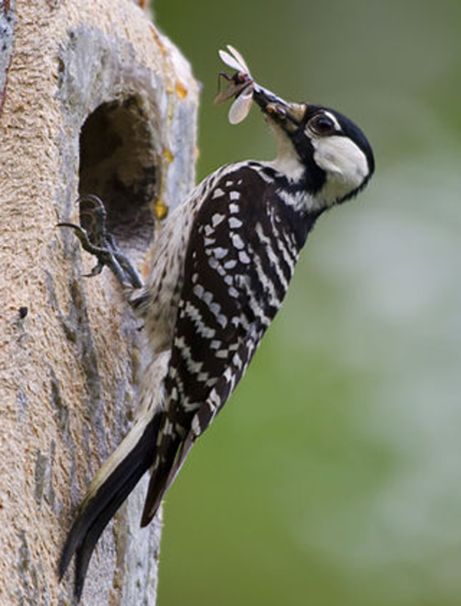 The endangered Red Cockaded Woodpecker loves NC forests.