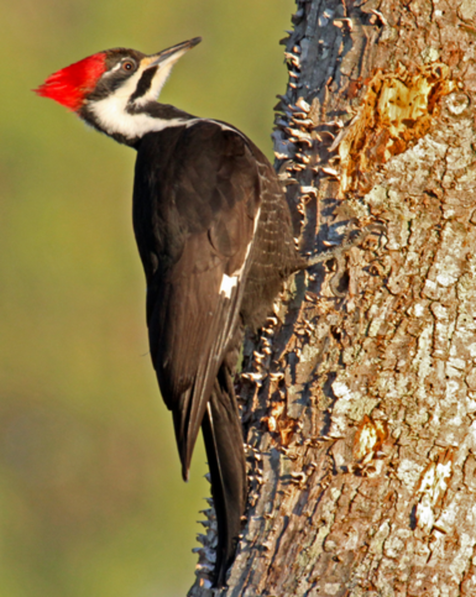 Pileated Woodpeckers are common visitors to NC. This one was photographed in Asheville, NC.