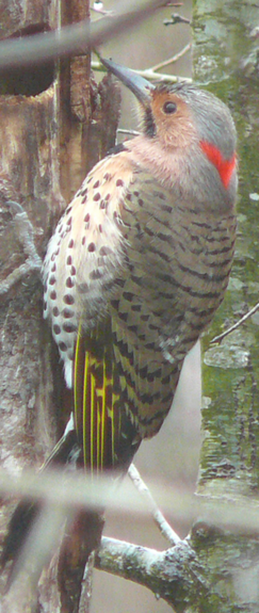 The Yellow Shafted Northern Flicker is a widespread woodpecker of North America.
