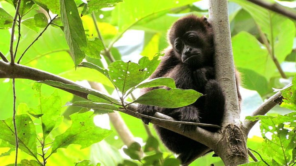 Howler monkey of Costa Rica