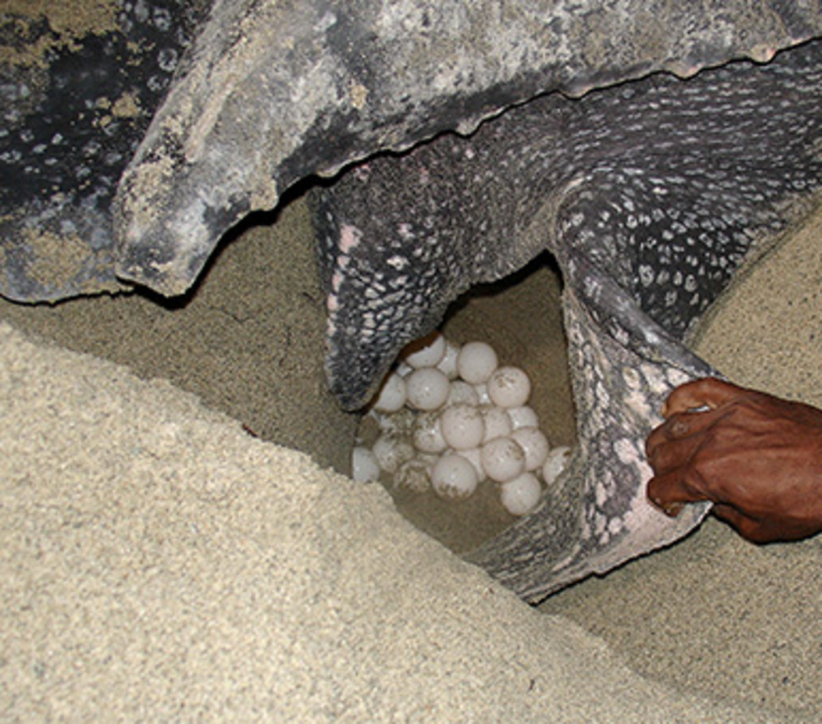 Eggs of leatherback turtle