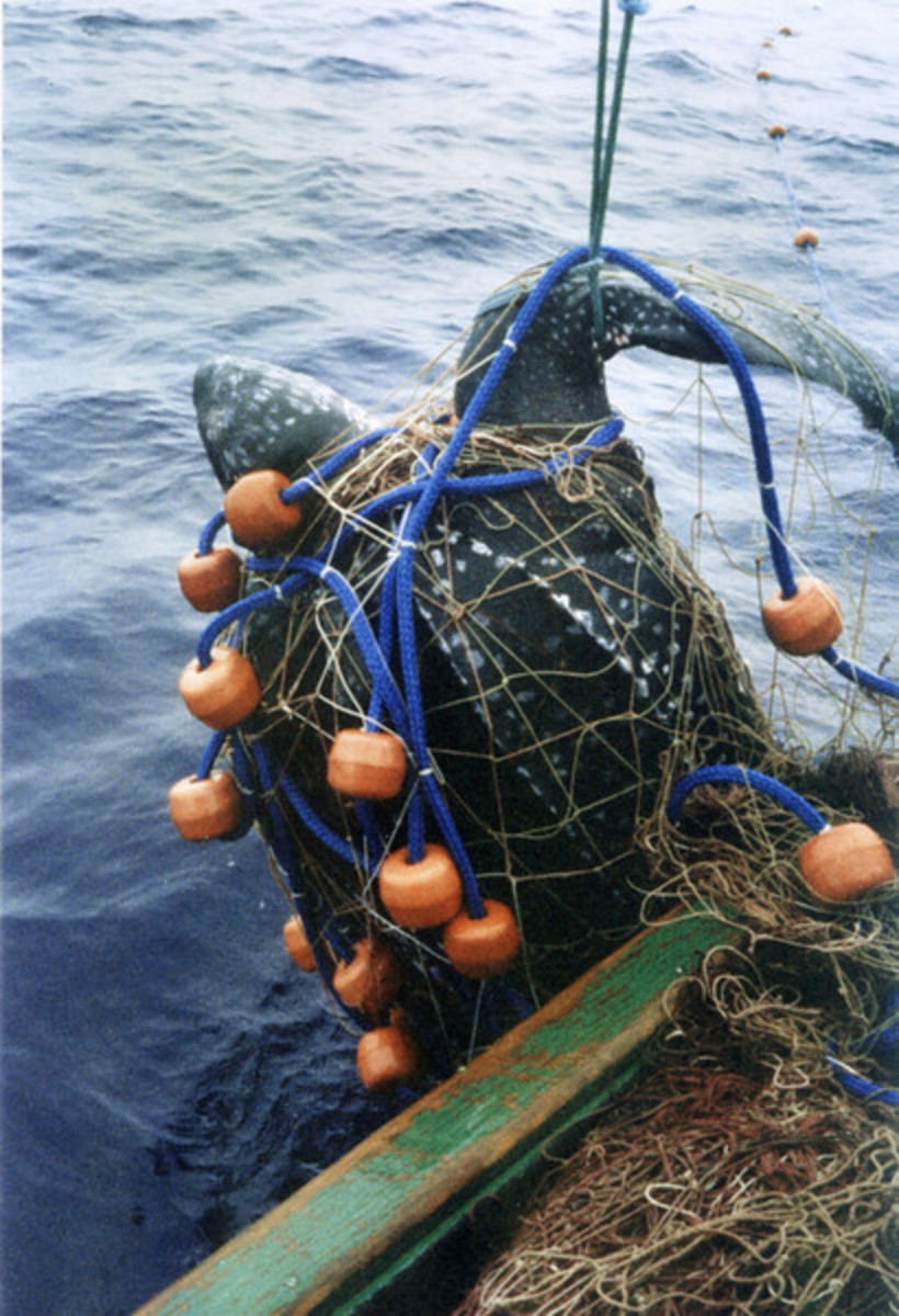 Leatherback turtle Bycatch