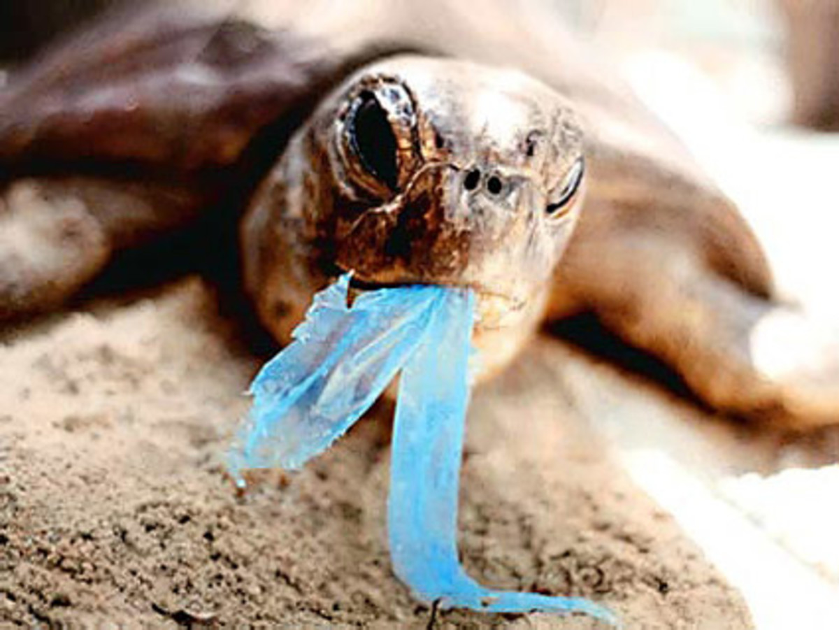 Turtle swallowing plastic bags