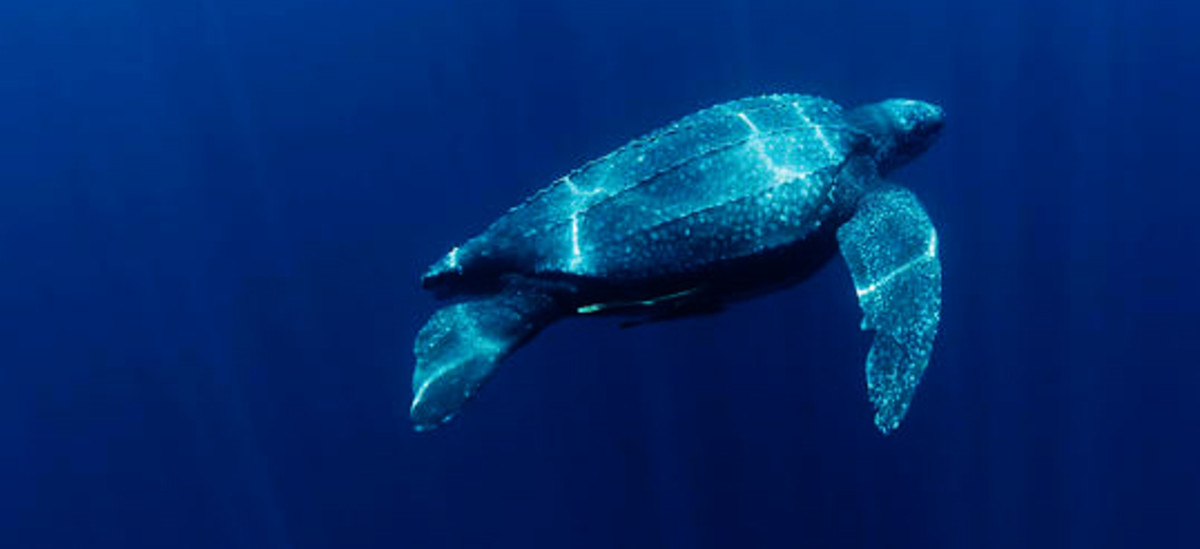 Leatherback Sea Turtle - A Critically Endangered Species