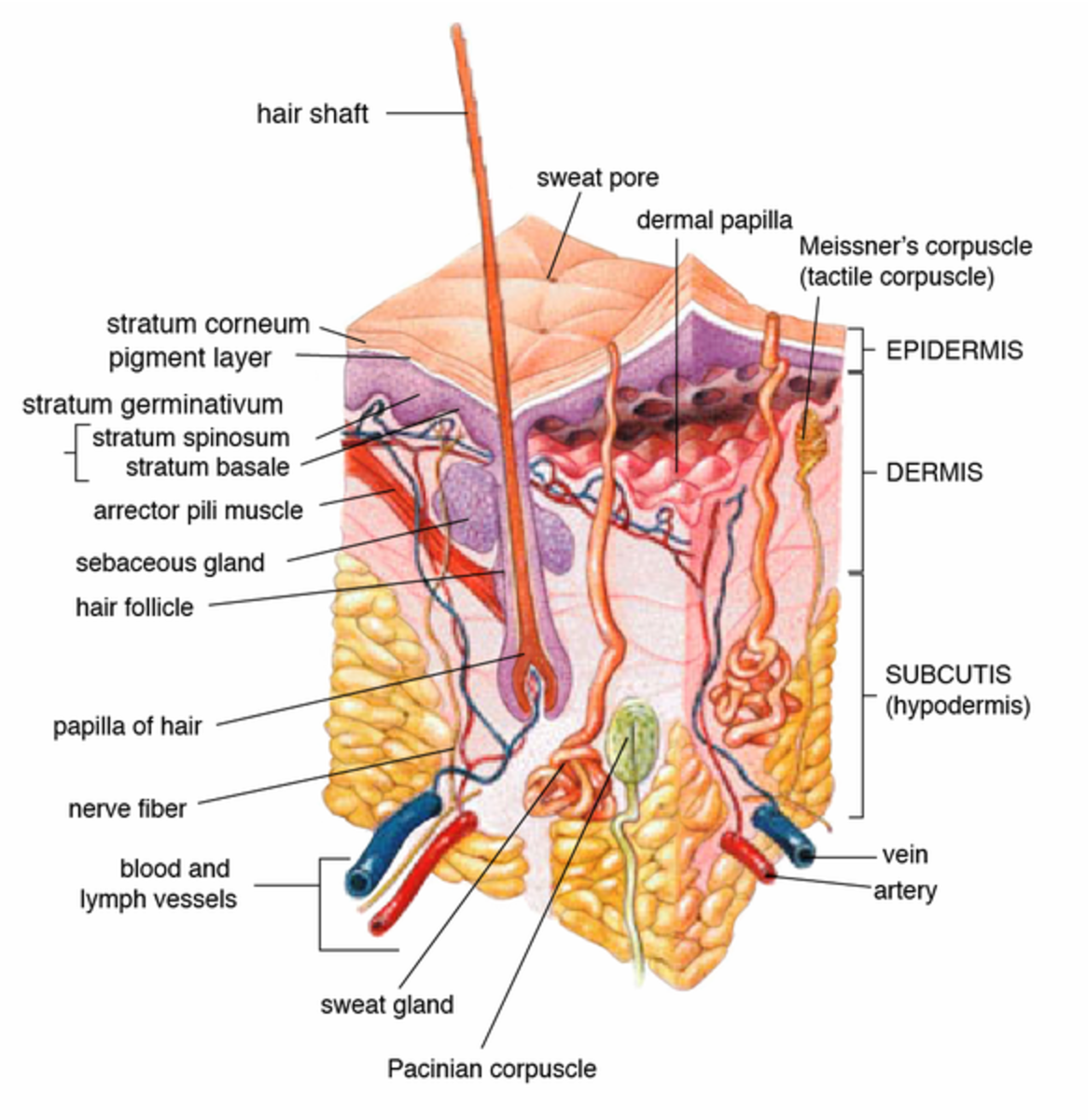 A cross section of human skin, with the fat or hypodermis shown directly beneath the skin or epidermis.