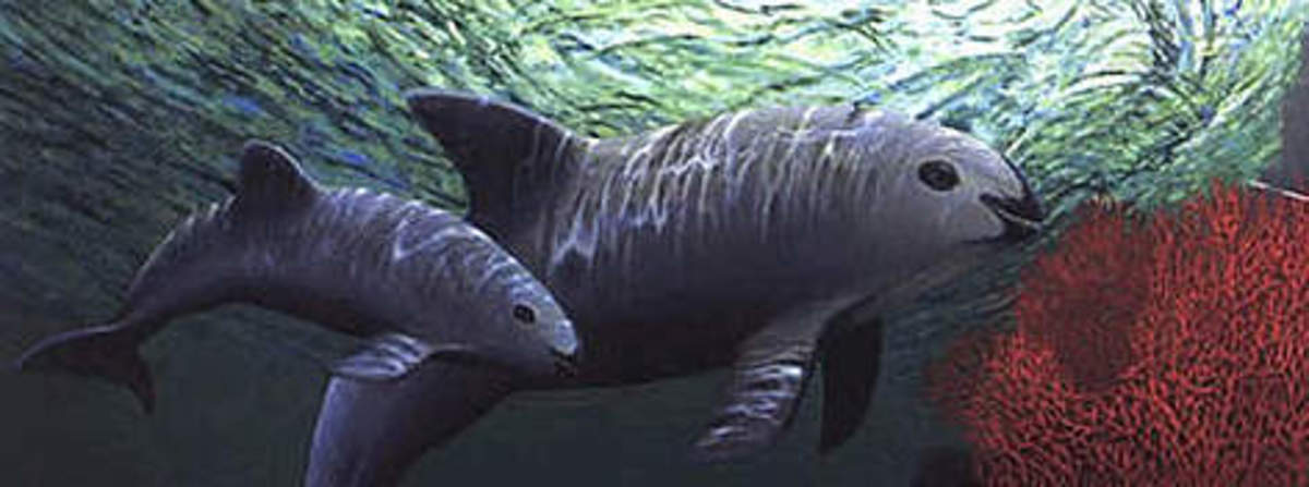 Vaquita - A Critically Endangered Species