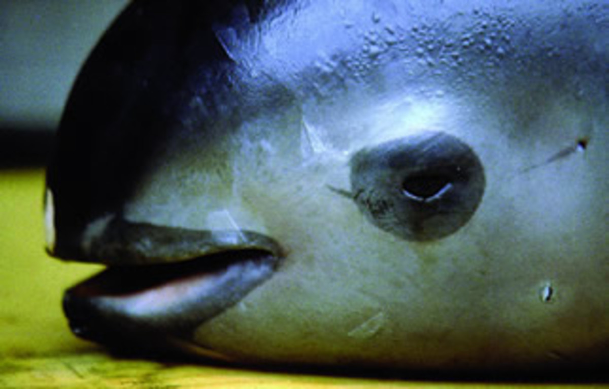 The eyes and mouth of vaquita