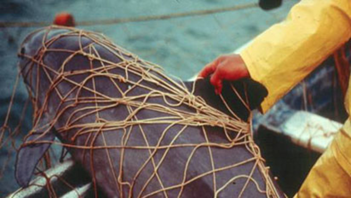 Vaquita caught in fishing nets