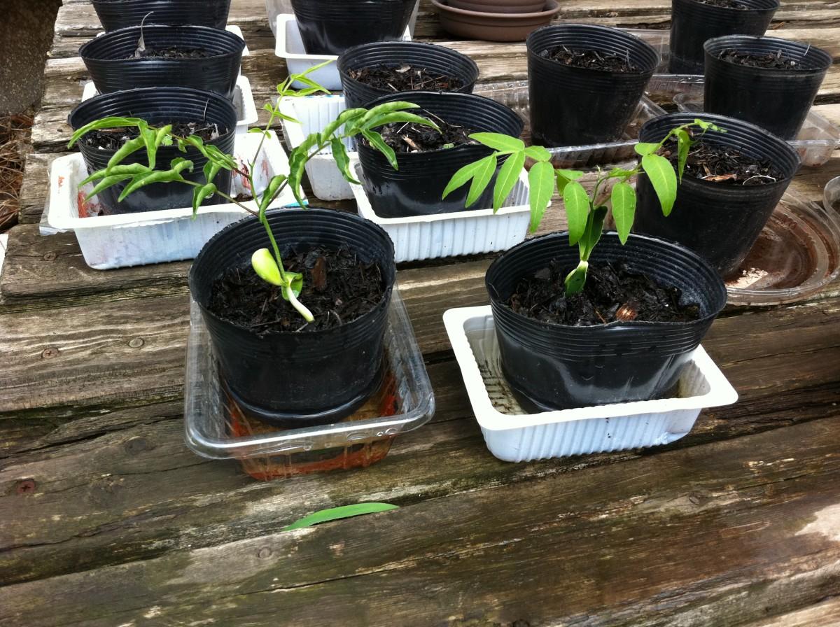 soap nut saplings