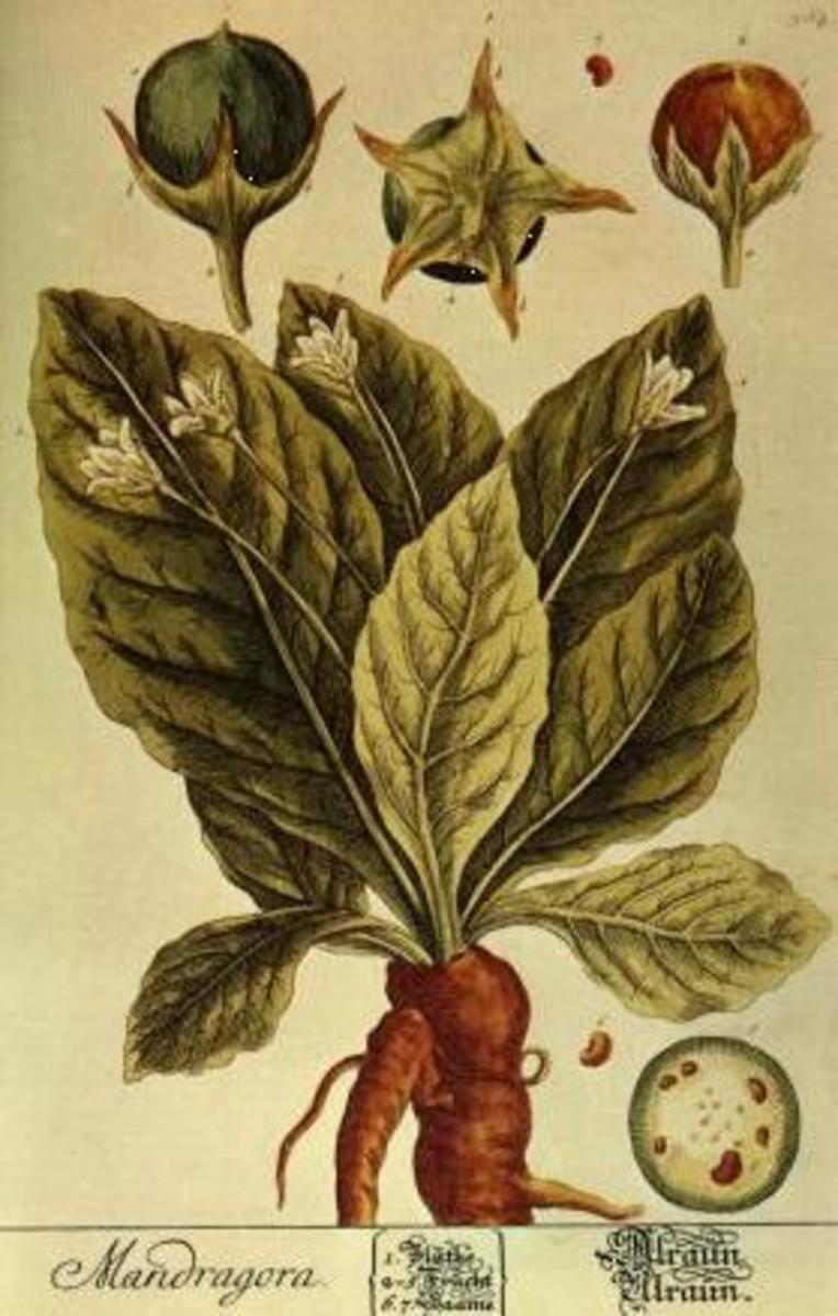 Mandrake, Mandragora officinarum