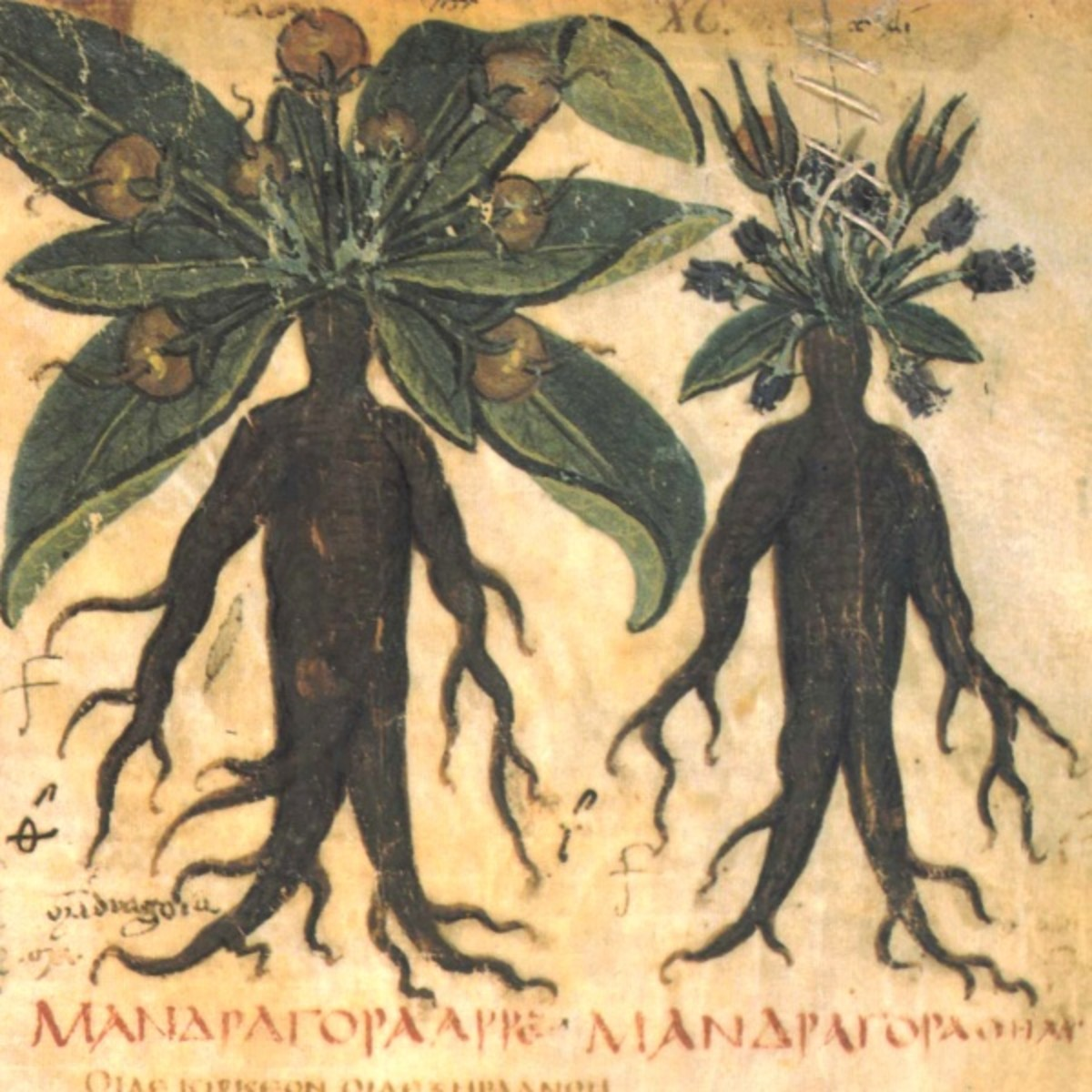 One of the many depictions of mandrake root in medieval European herbals.