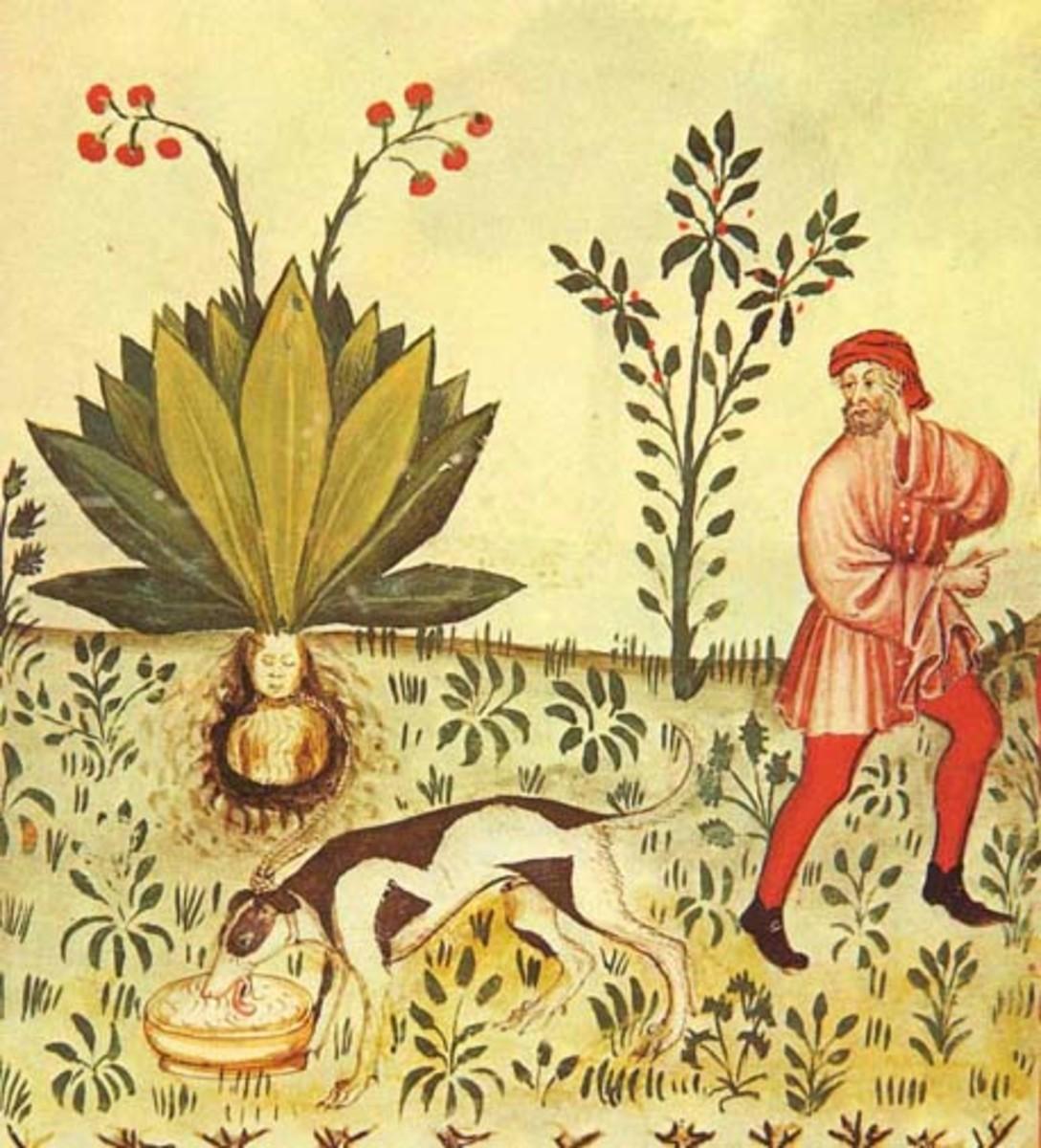 How to harvest mandrake.