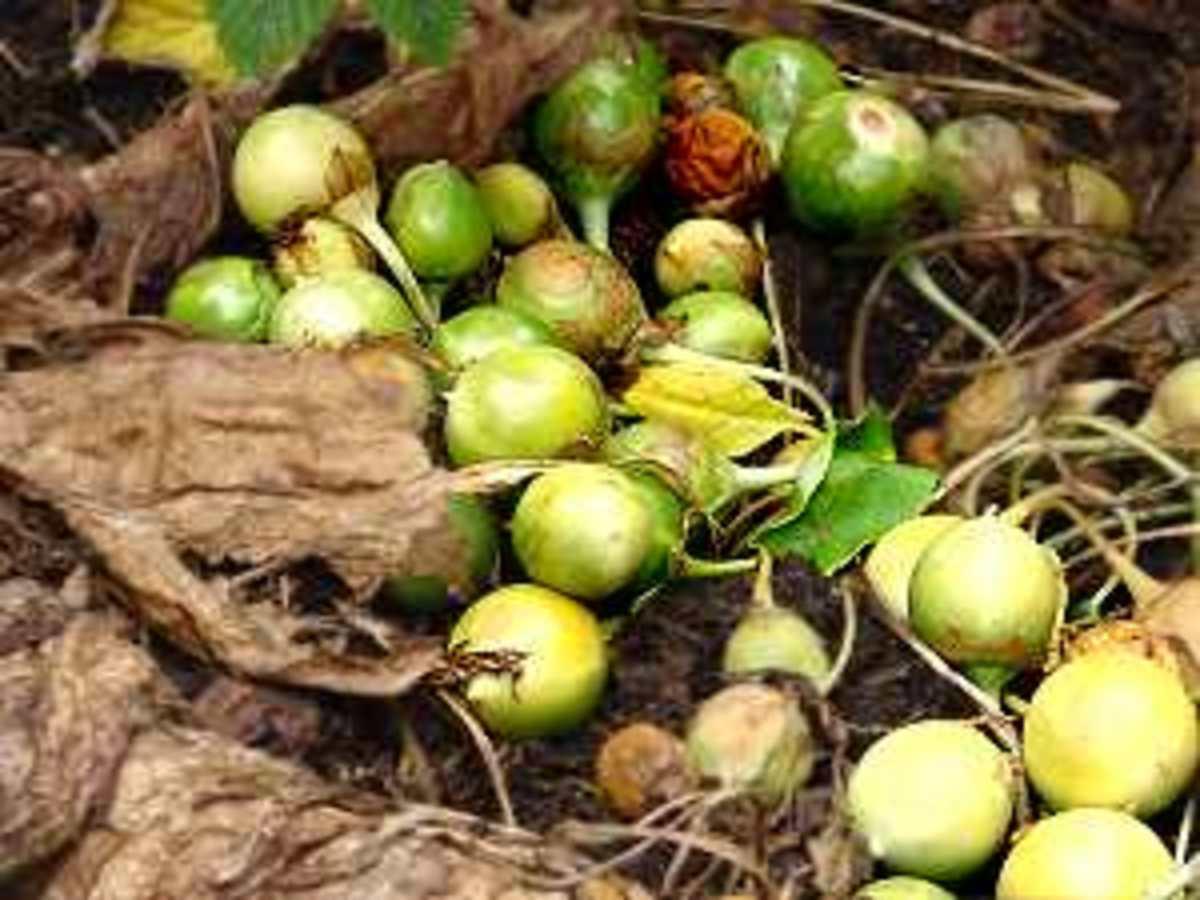 Detail on mandrake fruits.