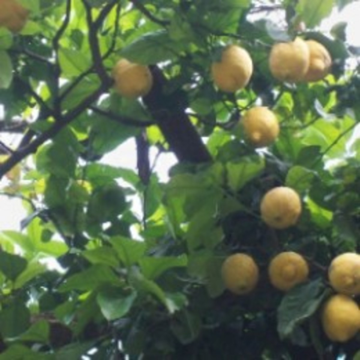 Lemons Galore and Limoncello on Italy's Amalfi Coast