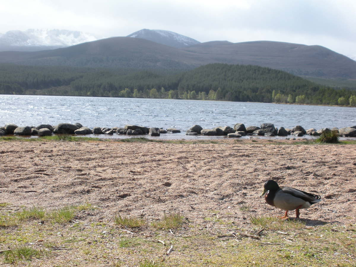 Would it be too much of a coincidence for a duck on the banks of Loch Ness to be a Khaki Campbell?